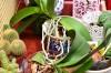 Orhideea phalaenopsis este o epifită.