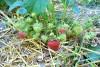 Căpșuni în pârgă