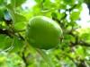 Măr de 2 - 2,5 cm diametru